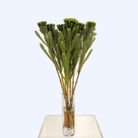Brunia Albiflora 50cm (Australia) / Sold per Stem