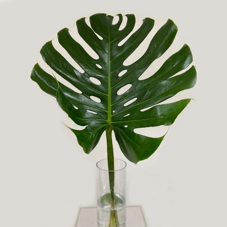 Fresh Monstera Deliciosa Leaf 80cm