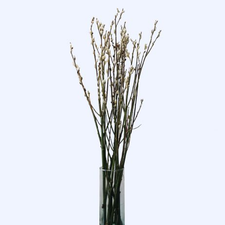 Fresh Flowers - Pussy Willow (Per Stem)