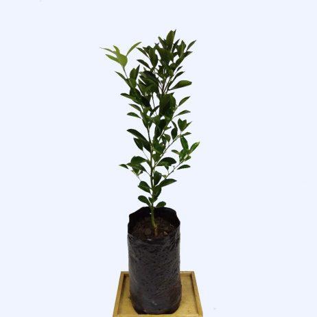 Live Plants - Calamansi